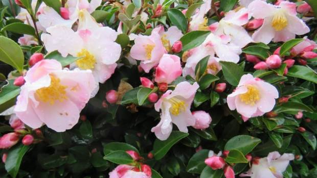 Camellia 'Fairy Blush' makes a pretty, low-maintenance hedge that attracts birds and butterflies alike.
