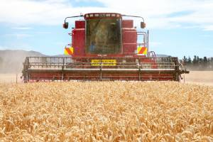 Milling wheat yields were up 12 per cent on last year.