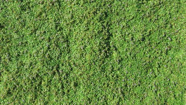 Corsican mint is best for areas with light foot traffic. Its fine leaves form a flat groundcover.