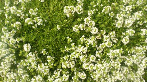 White thyme. The most vigorous of the thymes, it spreads into a tough carpet.
