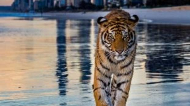 Dreamworld tiger Adira at Main Beach on Australia's Gold Coast.
