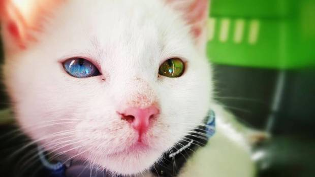 One eye is blue, one eye is green, and the fur is white. His name? Ginger.