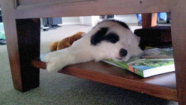 Yet another Furry Friday regular is Tiberius. Here he is as a pooped puppy snoozing on the coffee table.