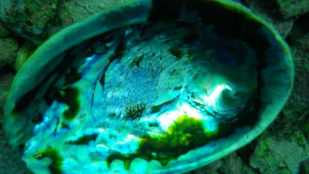 Jeremy Hepi was found to have 301 excess paua and 300 undersized paua after making a forlorn attempt to evade fishery ...