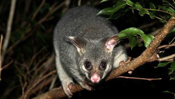 35 million possums in New Zealand are in the crosshairs