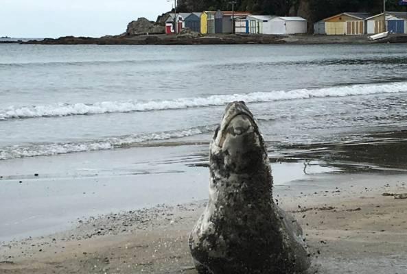 The leopard seal was seen near the boat sheds on Titahi Bay Beach in Porirua.