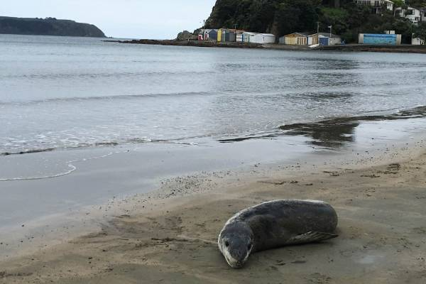 A Leopard Seal that was spotted on a Plimmerton beach last week has moved to Titahi Bay.