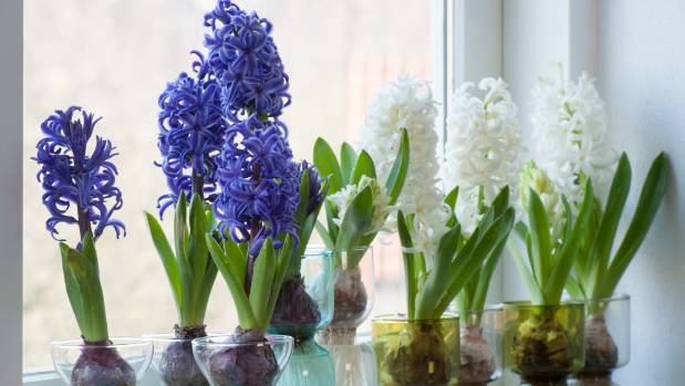 Five great scented spring flowers for the vase stuff hyacinths are often available as potted plants mightylinksfo
