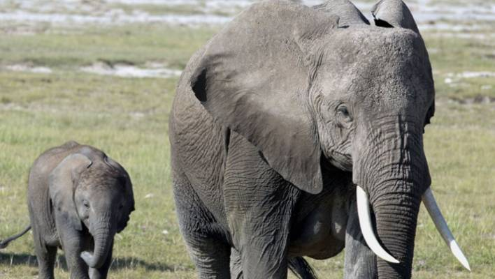 c4d802a37 Investigation finds thriving elephant ivory trade in Australia and ...