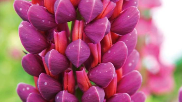 The most dramatic pink and purple flowers for your spring garden though considered a weed in parts of nz russell lupins are well worth growing mightylinksfo