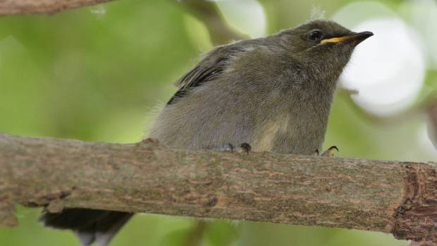 "A bellbird fledgling in Cambridge - a result of the Maungatautari ""halo effect""."