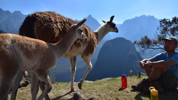 Two lamas casually stroll through Machu Pichhu.