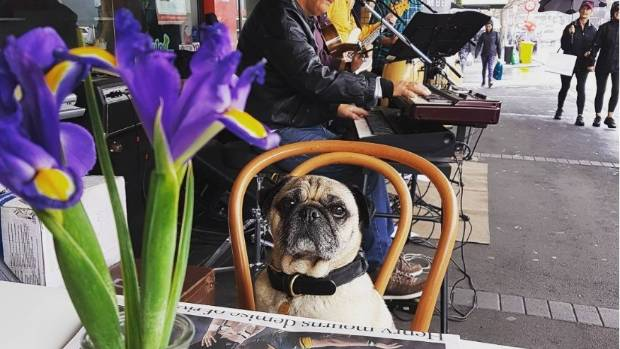 Cedric the pug enjoying Ponsonby Central