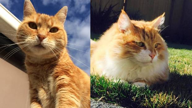 Never is a ginger coat more stunning than in the bright sun. Here are Ada (left) and Frank.