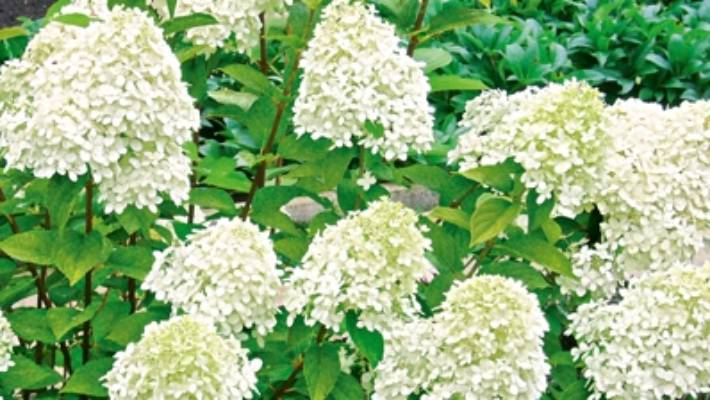 Gardening Guru Lynda Hallinan On Nzs Most Lovable Shrubs Stuffconz