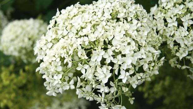 Gardening guru lynda hallinan on nzs most lovable shrubs stuff hydrangea arborescens annabelle has perfect white pompons mightylinksfo