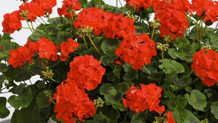 Geraniums Good For Year Round Colour Stuffconz
