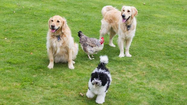 Silvia is happy to spend time with her four-legged friends, golden retrievers Ukoo and Bahati, and Amazi.