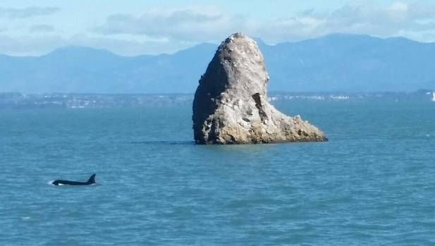 Orca spotted in nelson haven for Landscaping rocks nelson