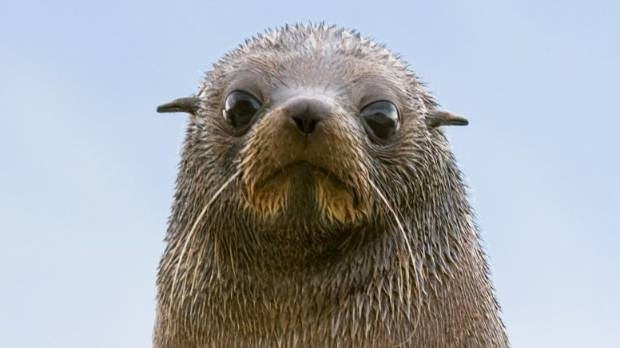 The fur seal population may not reach into the millions but it will increase markedly, scientists believe.