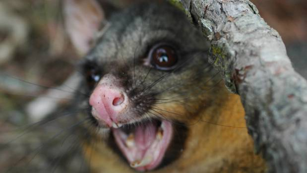 Damage caused by possums is excluded by some contents insurance policies.