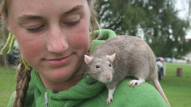 Rats aren't always pests. Tegan Murrell with her friend Misty the rat which was second in the other pets section at the ...