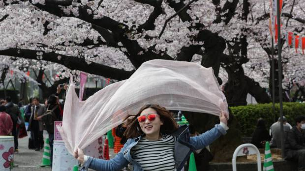 During cherry blossom season thousands of people gather across Japan to practice 'Hanami,' picnicking under a blooming ...