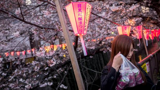 A woman shows off her pink coloured beer cans as she takes part in 'Hanami' or Flower-viewing party under cherry blossom ...