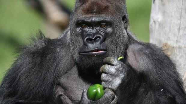 Kumbuka is an 184kg male western lowland gorilla who is 215cm tall and also likes peppers.