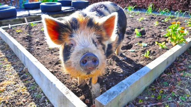 Tom the rescue pig now lives at Oasis Cottage in Oxford, Canterbury, supported by Oasis Beauty.