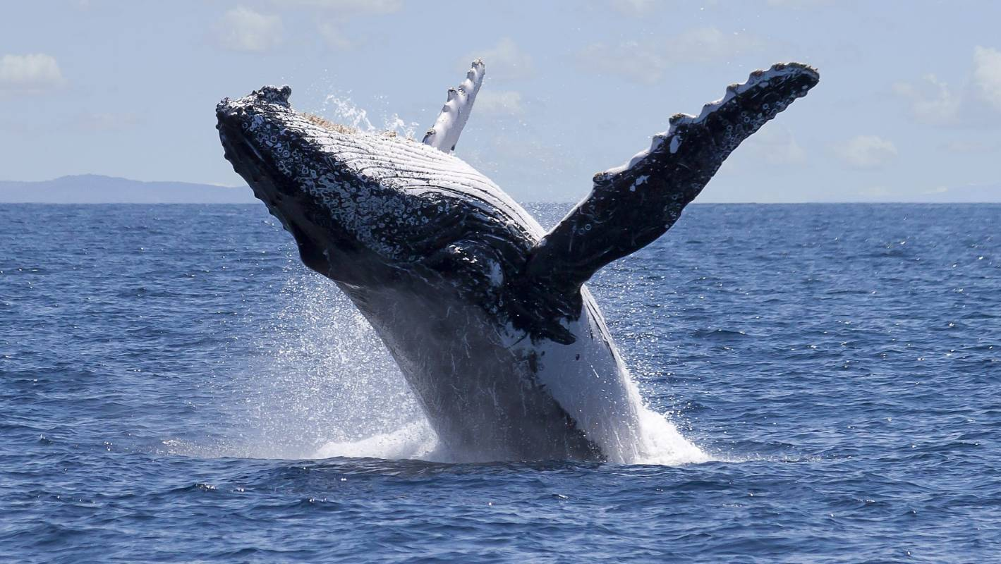 Saving whales also saves humans about $3 million per whale