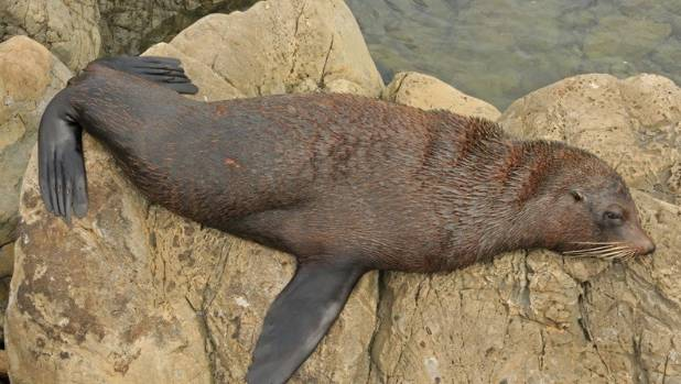 A supplied picture of a fur seal pup for comparison.
