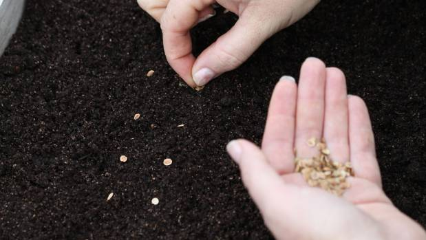 Sow seeds in trays of seed raising mix.