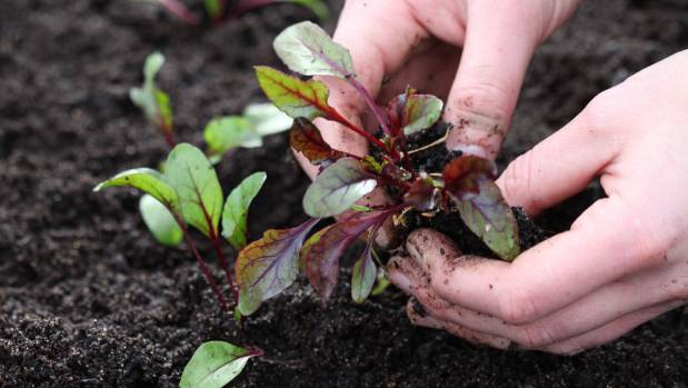 Handle seedlings gently when transplanting so the delicate roots aren't damaged.