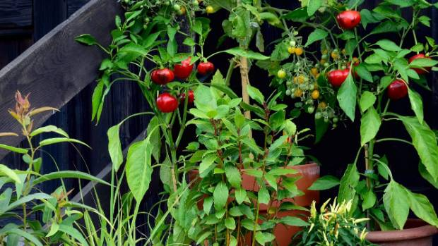 Chillies and capsicums grow well in pots.