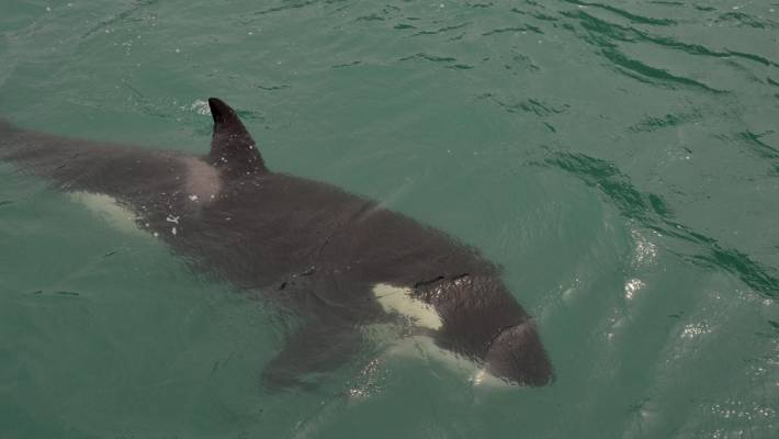 Stunning Drone Footage Of A Killer Whale Eating A Shark Stuff Co Nz