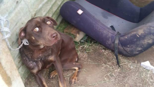 Skye, a six-month-old chocolate labrador cross, suffered horrendous injuries after being kept on a too-small chain for ...