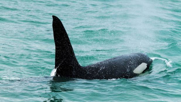The pod of nine came in close for those on board the Black Cat and Akaroa Dolphins cruises.