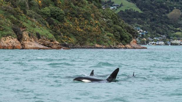 Akaroa Dolphins encountered a pod of orca in Akaroa Harbour on Monday afternoon.