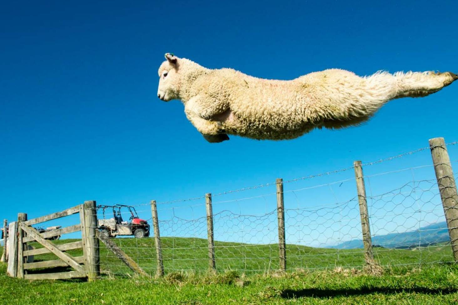One perfect leap for a lamb | Stuff.co.nz