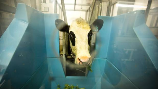 A cow has its emissions measured at Massey University by the Pastoral Greenhouse Gas Research Consortium and NZ ...