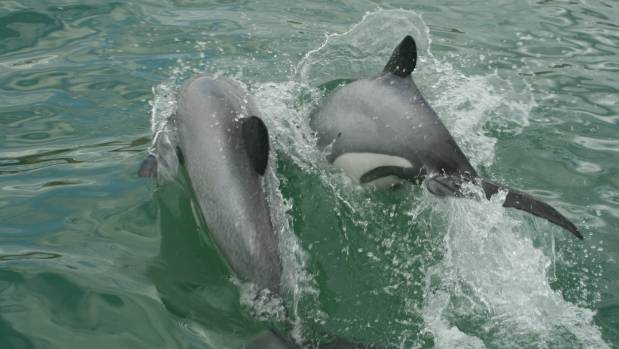 New research shows that there 63 adult Maui's dolphin remaining.