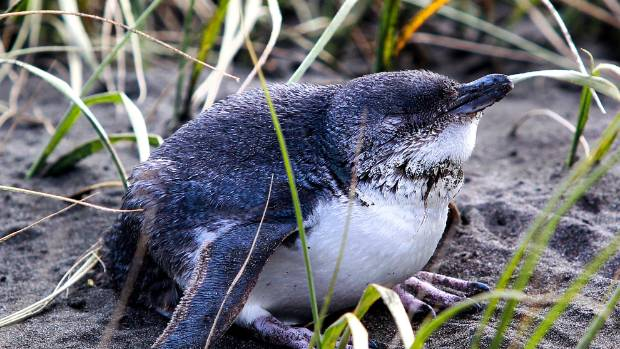 Nesting season for blue penguins typically ends in February.