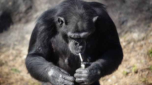 According to officials at the newly renovated zoo, the chimpanzee smokes about a pack a day. They insist, however, that ...