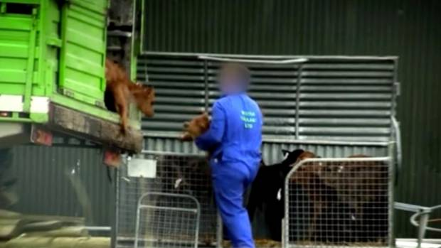 A Waikato firm was implicated in undercover video footage released by the Farmwatch organisation about the treatment of ...