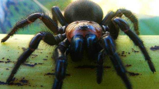 The tunnelweb spider is New Zealand's largest, and is commonly found in Wellington.