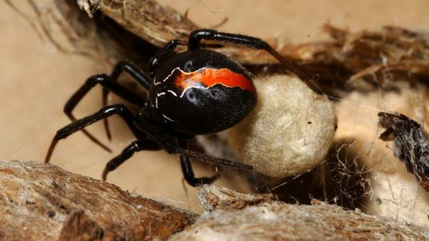 The Katipo spider is deadly but very rarely spotted.