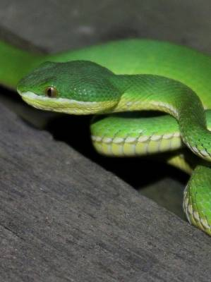 A live white-lipped pit viper like this one was found in a shipping container carrying landscape supplies.