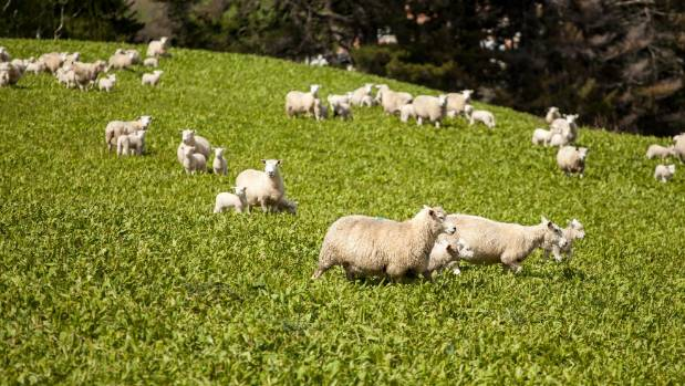 Headwaters ewes and lambs graze chicory with red and white clover on Caberfeidh.