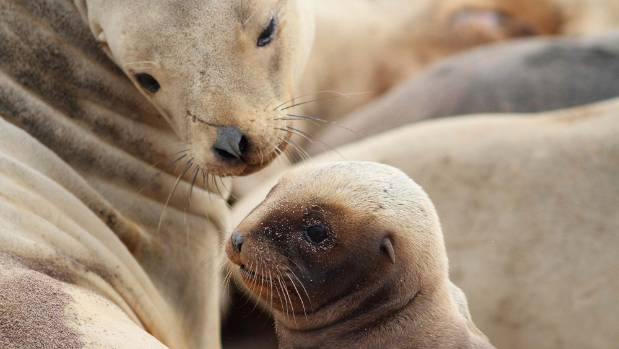 Critically endangered sea lion drowns in squid net south of new a new zealand sea lion female and pup in the auckland islands they are critically publicscrutiny Images